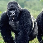 Discover the largest group of wild gorillas in Africa