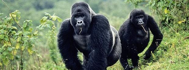 刚果大猩猩和终极森林野生动物园