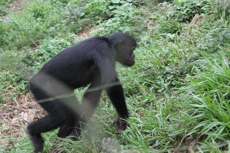 bonobos-eco-3