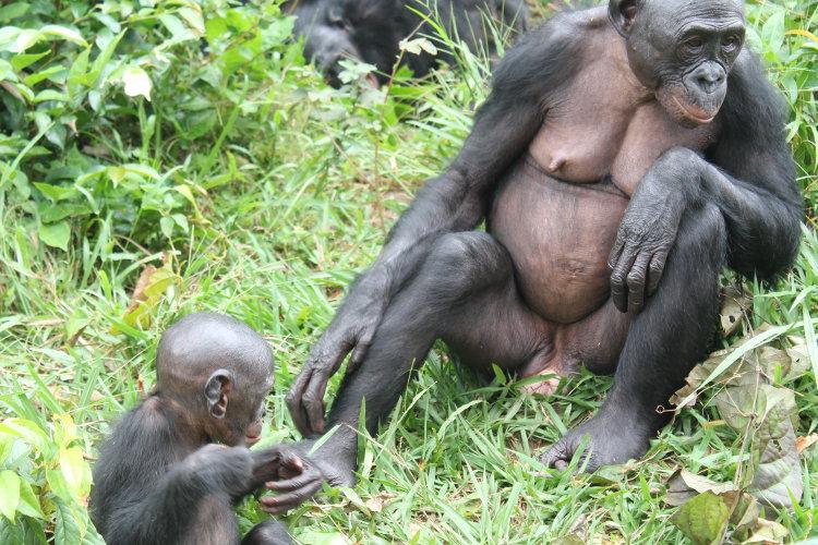 bonobos-eco-4