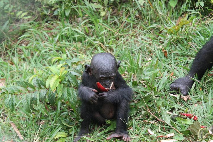 bonobos-eco-6