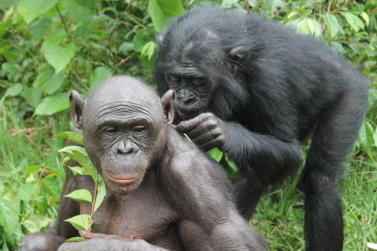 bonobos-eco-7